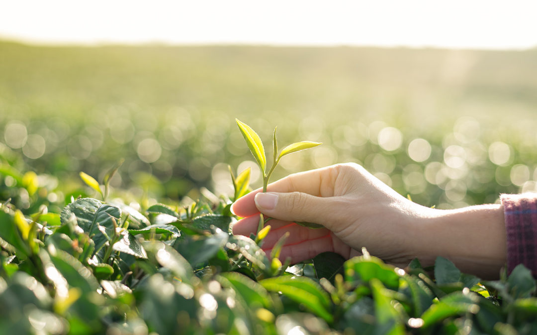 GREEN TEA Helps to fight Allergies — Yes Allergies!