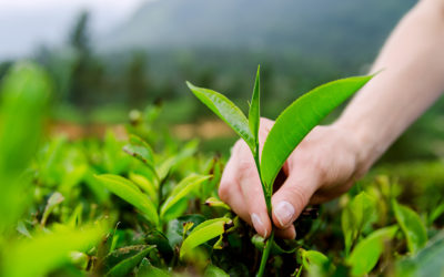 The Biology of Tea – The Secret is in the Science