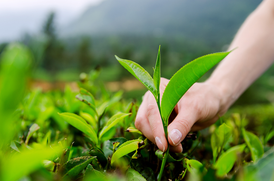 Tea is more than you know...picked to perfection