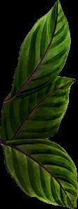 Leaves 71