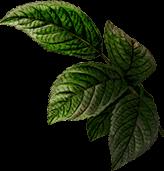 Leaves 91